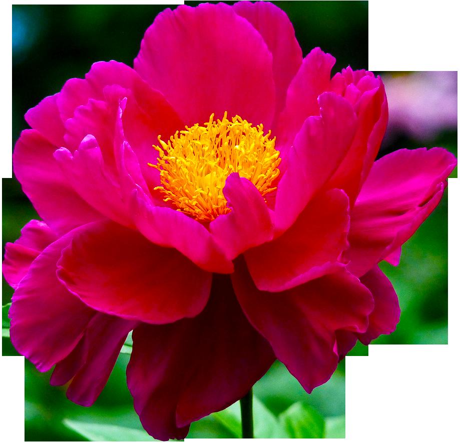flower tumblr transparent - photo #17