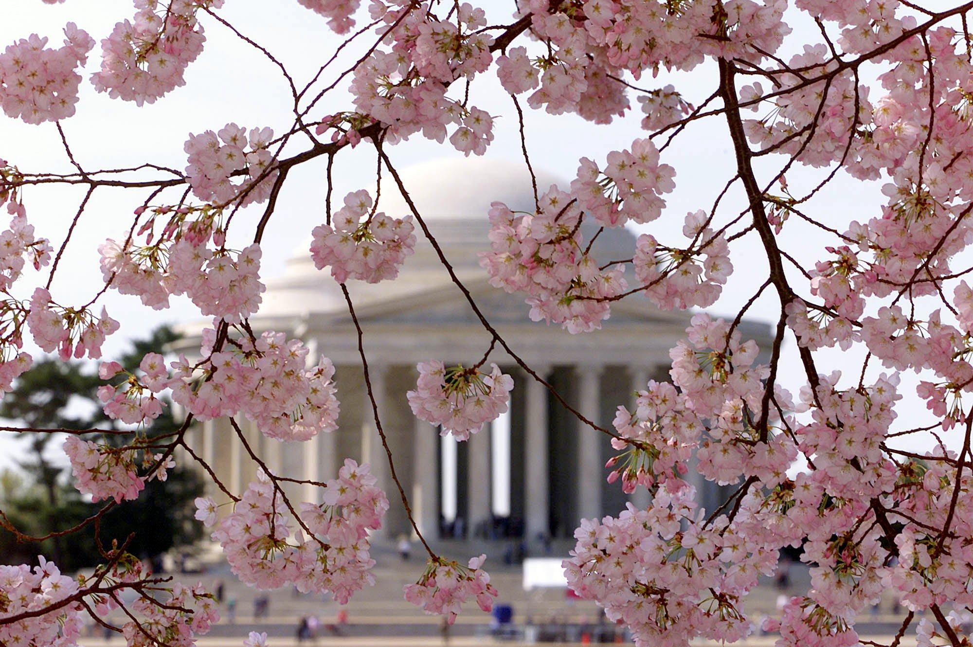cherry blossom festival - HD2000×1330