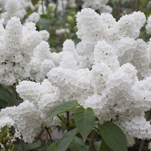 White lilac flower tumblr white lilac flower mightylinksfo