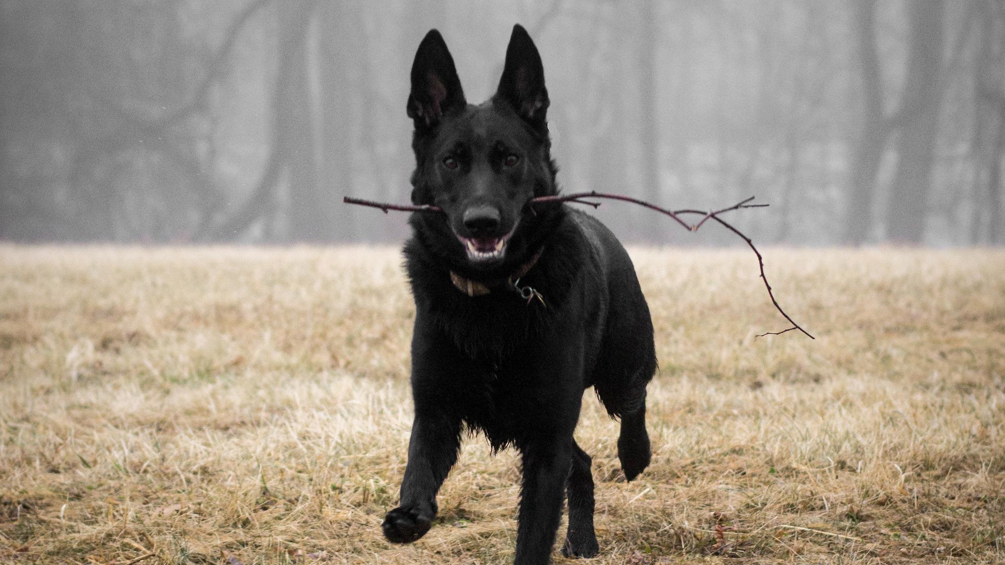 full black german shepherd - HD2048×1152