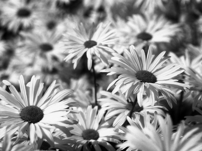 black and white daisies tumblr MEMES