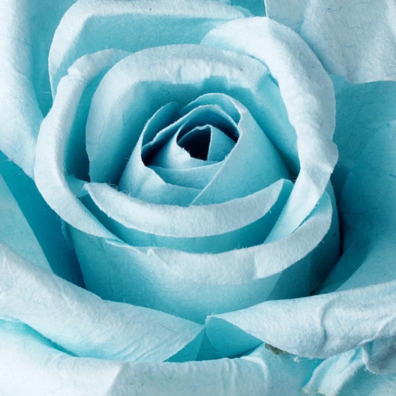 Blue Rose Wallpaper Jerusalem House