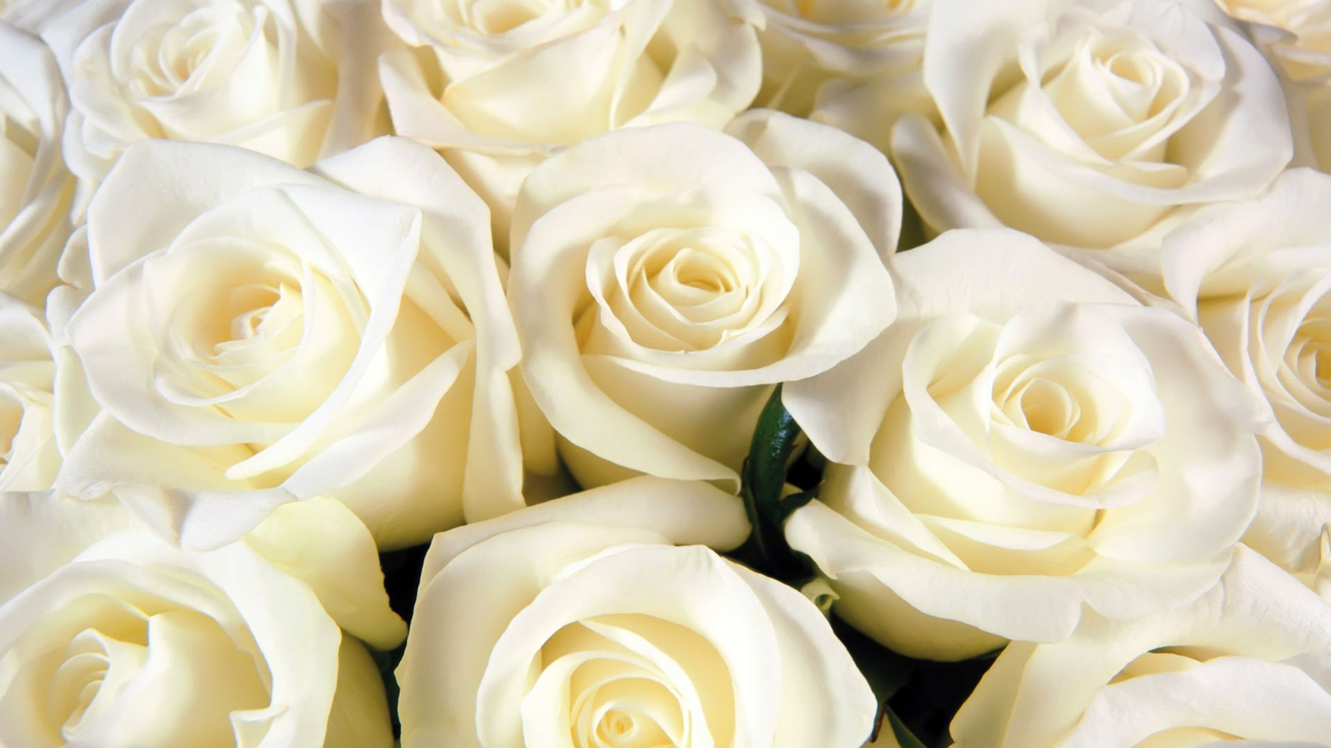 white rose wallpaper tumblr 2018 images pictures red rose