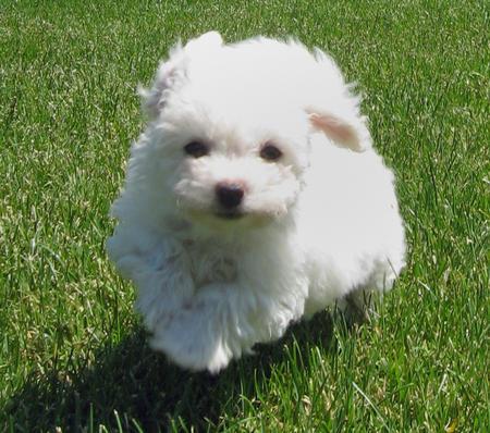 Puppies Network Chihuahua X Pitbull