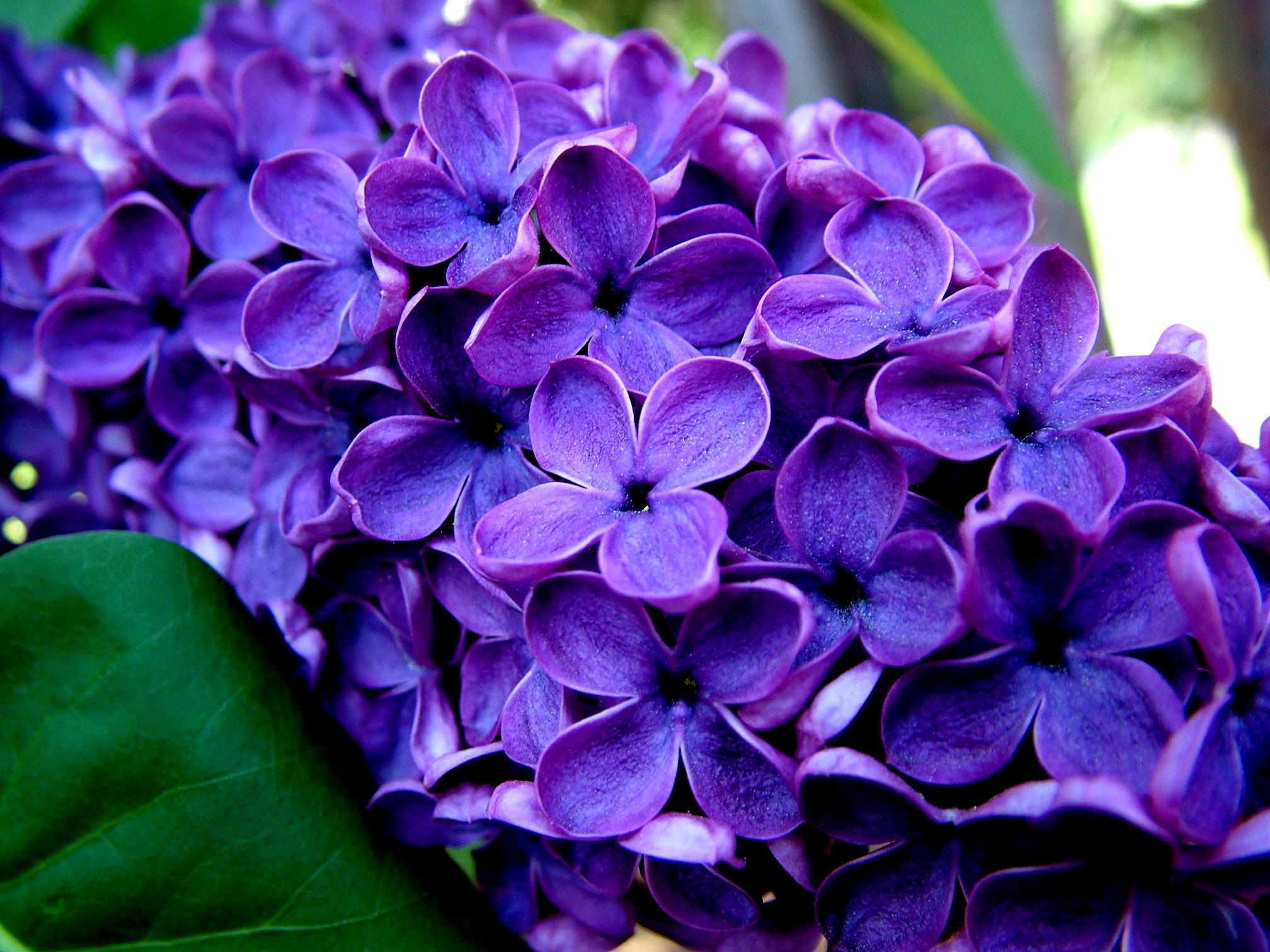 цветы природа сирень  № 2224204  скачать