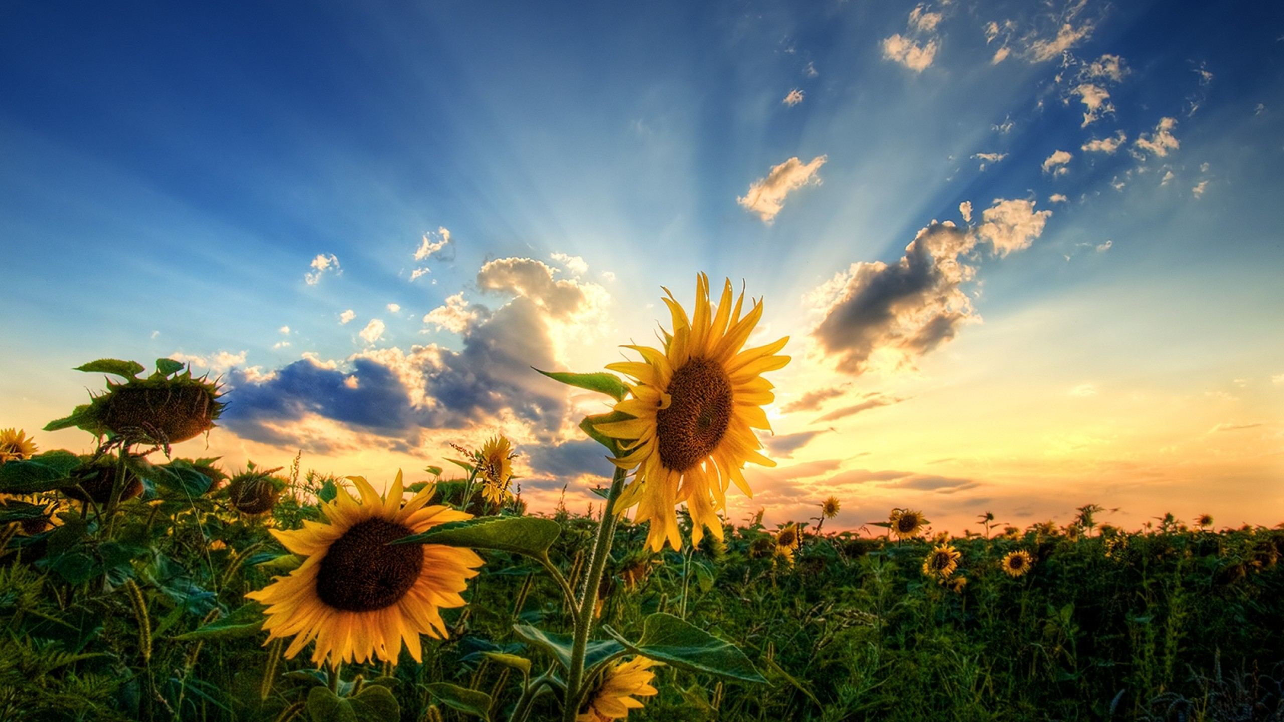 Best Wallpaper Horse Flower - tumblr_static_3d-abstract_other_sunflower-field_46109  Perfect Image Reference_76755.jpg