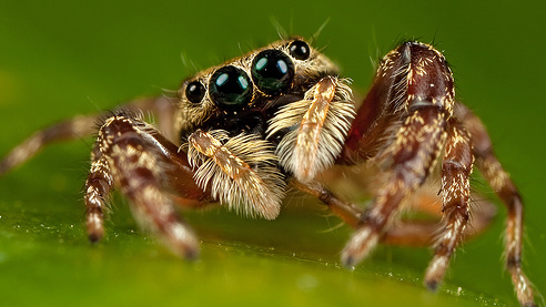 why are jumping spiders so cute