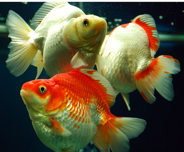 Fantail goldfish - photo#22