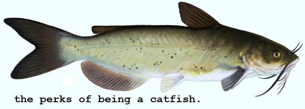 Pictures catfish fish pictures catfishleague for Best time to fish for catfish