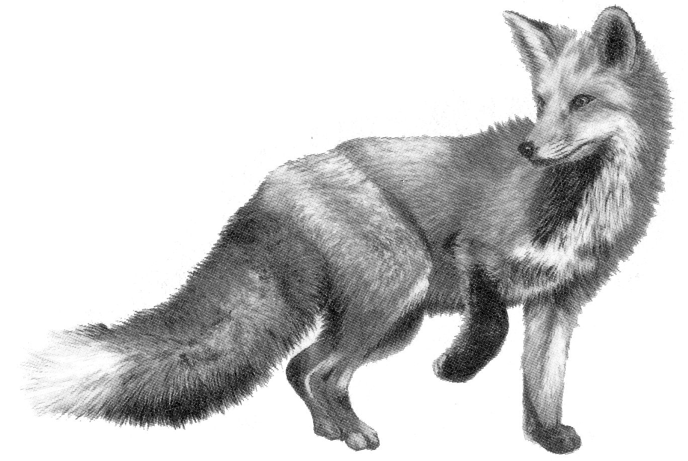 Last of the Foxes: lastofthefoxes.tumblr.com