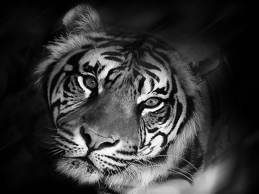 """Black And White Tiger Background """"Though I Am Lost..."""