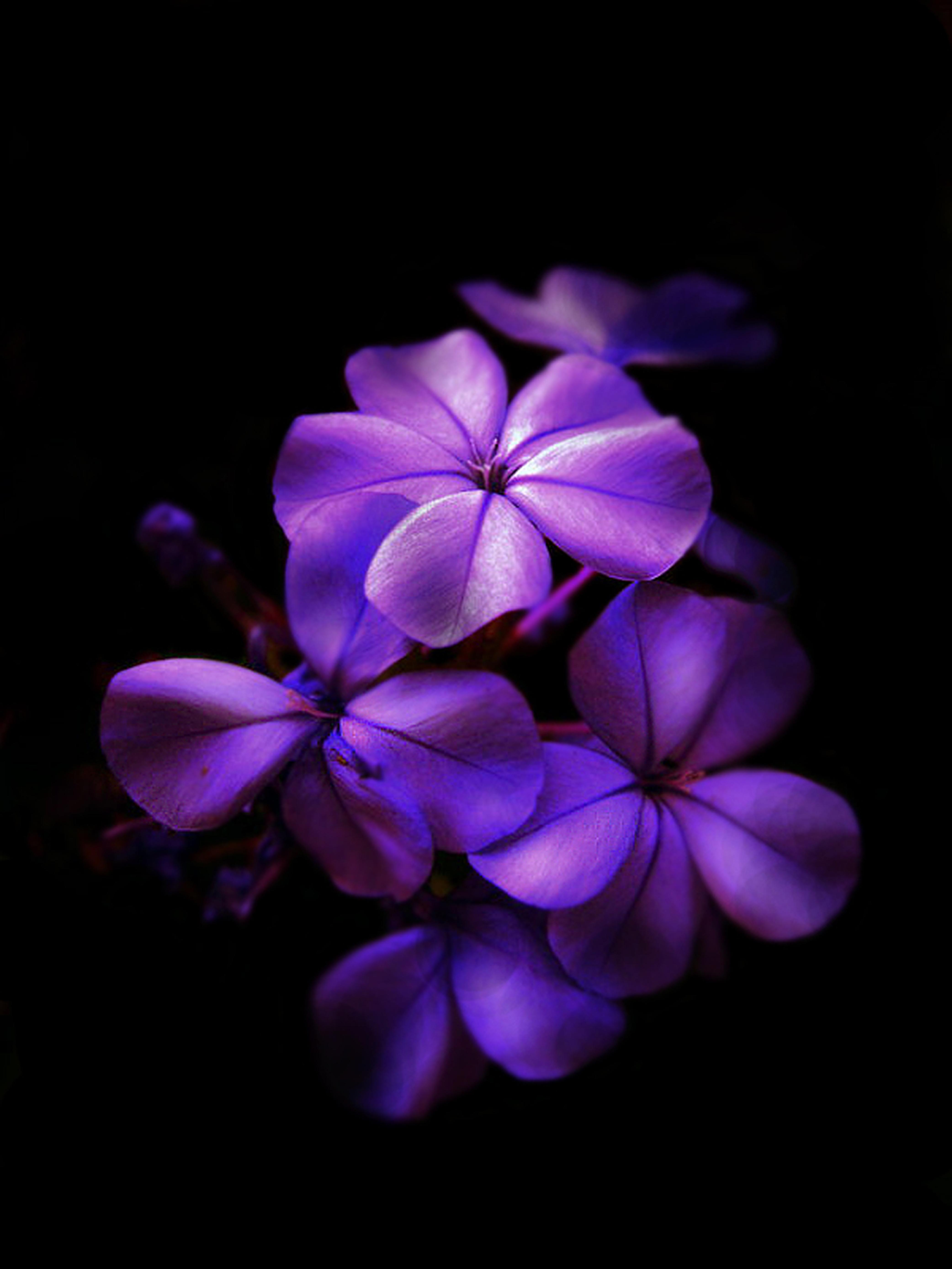 Beautiful black purple flower wallpaper high definitions wallpapers black and purple flowers mightylinksfo