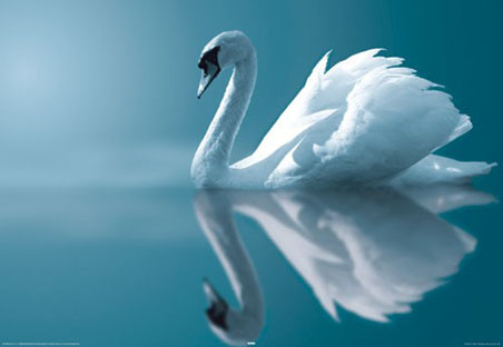Swan (bird)