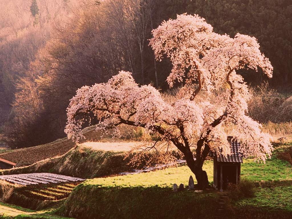 Cherry Blossom Meaning In Japanese