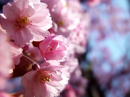 cherry tree blossoming. DIYqueen. sidebar header