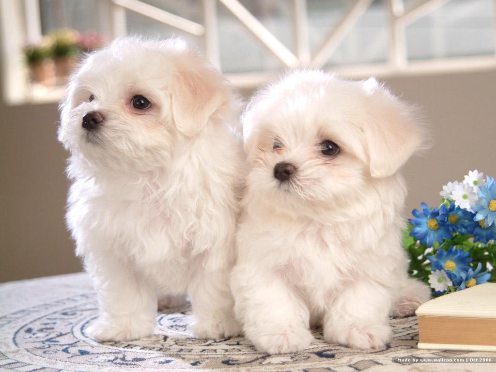 bichon_puppies_.jpg