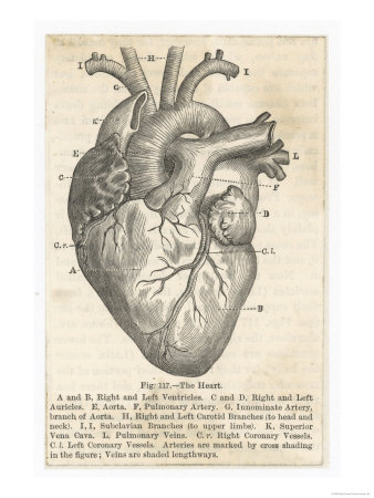 words travel: Anatomical Heart Drawing