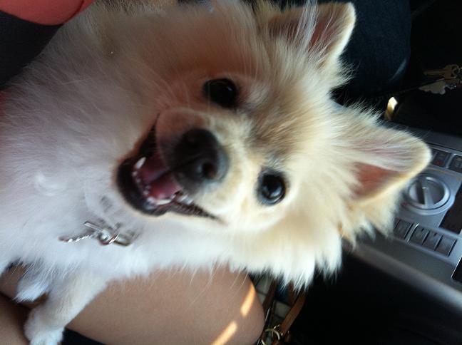 American Eskimo Pomeranian Mix I am a mix of pomeranian and